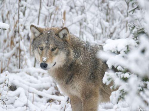 Foto.SvenZacek. Wolf