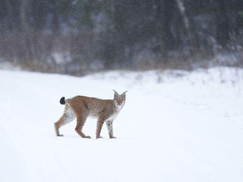 Foto:SvenZacek.Lynx