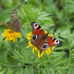 AivarRuuke, Estonian butterfly