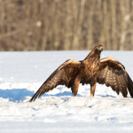 Golden Eagles in Estonia