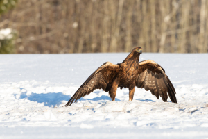 Golden Eagles in Estonia