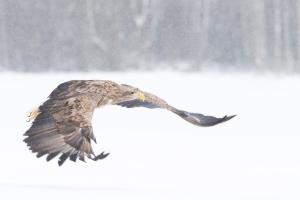 White tailed Eagles in Estonia