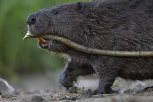 Foto:SvenZacek.Beaver