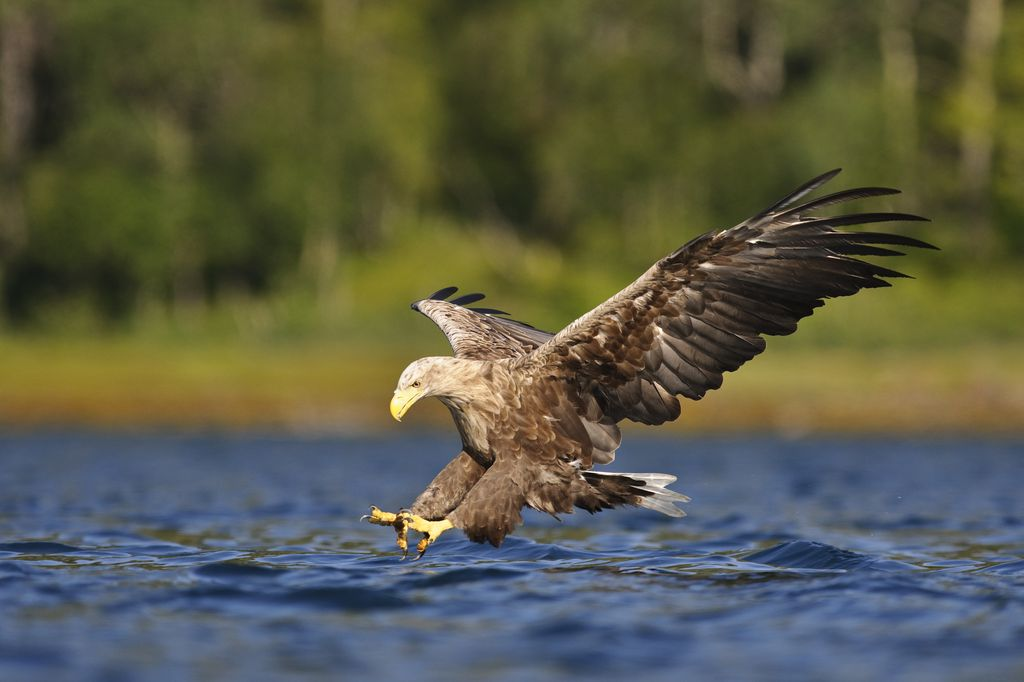 Image result for white tailed eagle