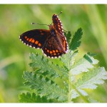 Butterfly watching tours in Estonia
