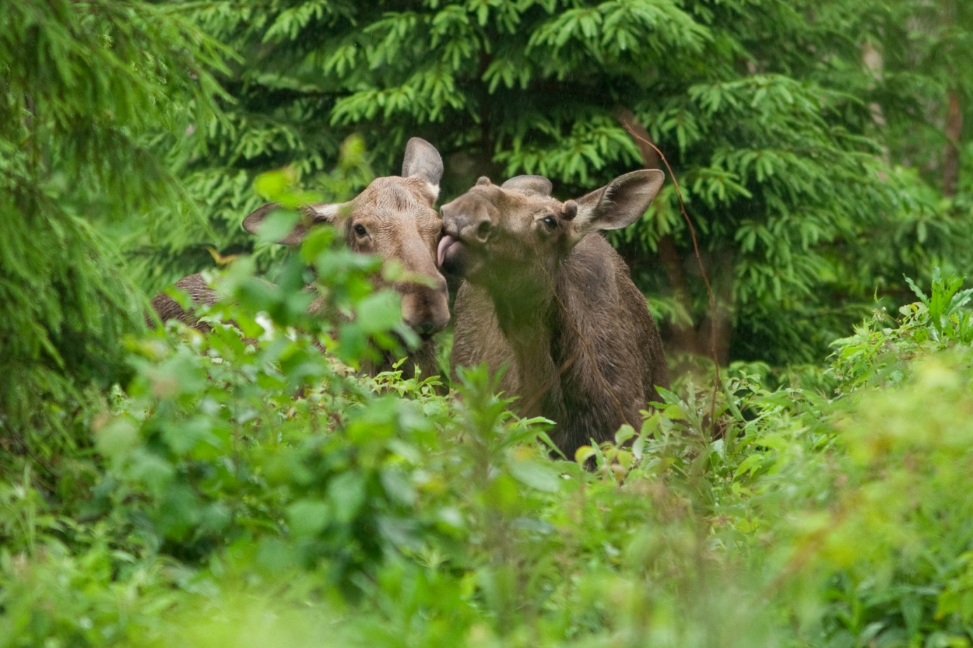 Moose photography in Estonia
