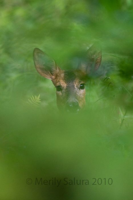 Roe Deer Estonia