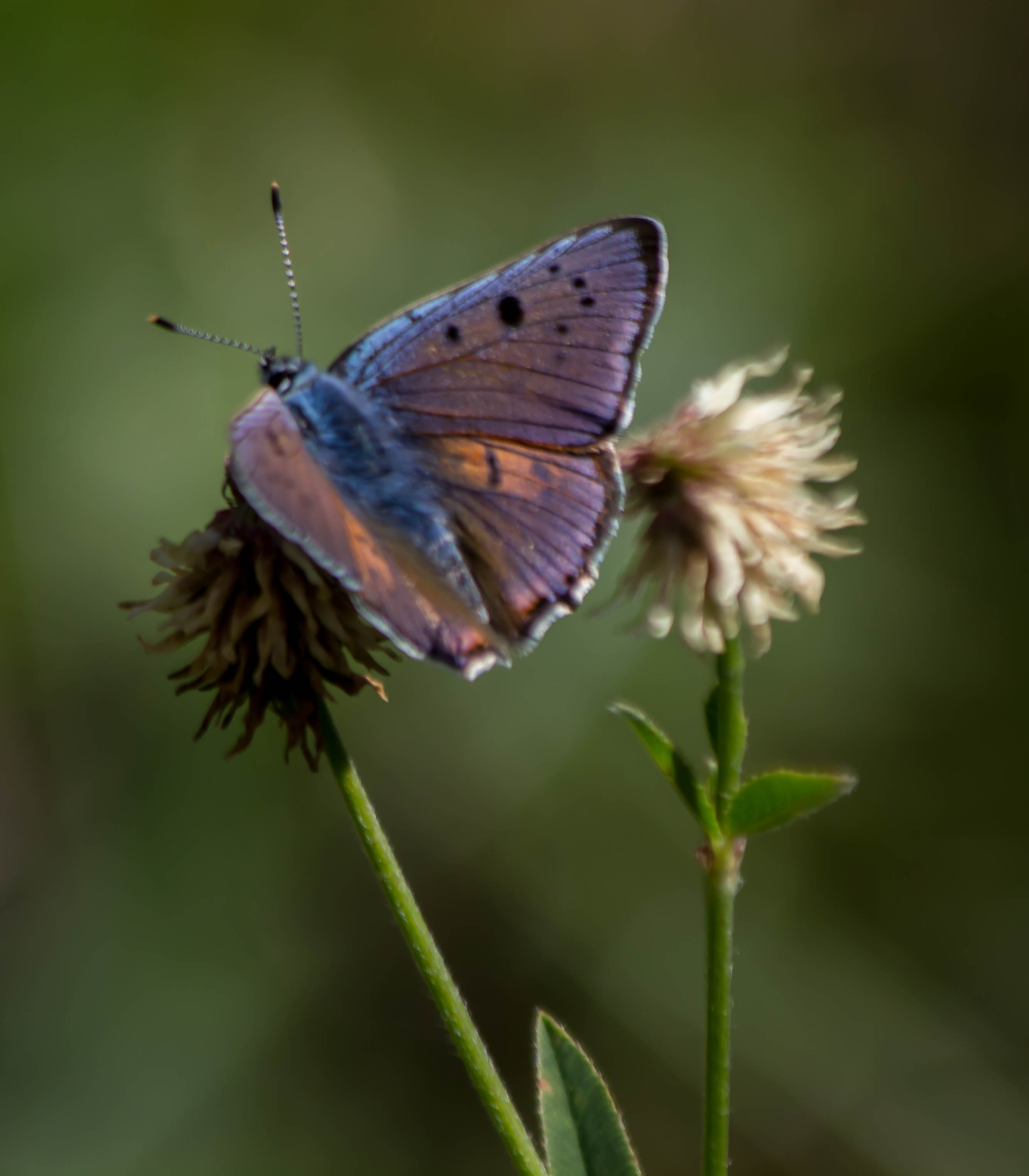 Butterfly Photography in Estonia
