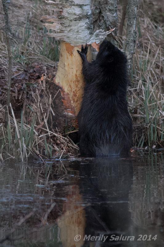 Beaver Beaver