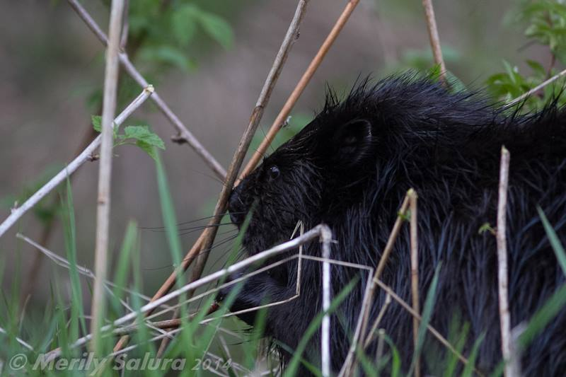 Beaver Estonia