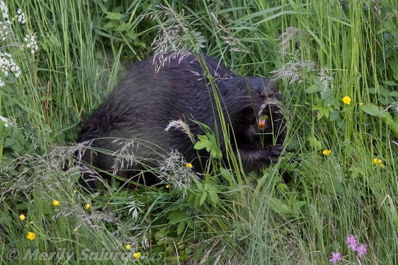 Beaver In Estonia