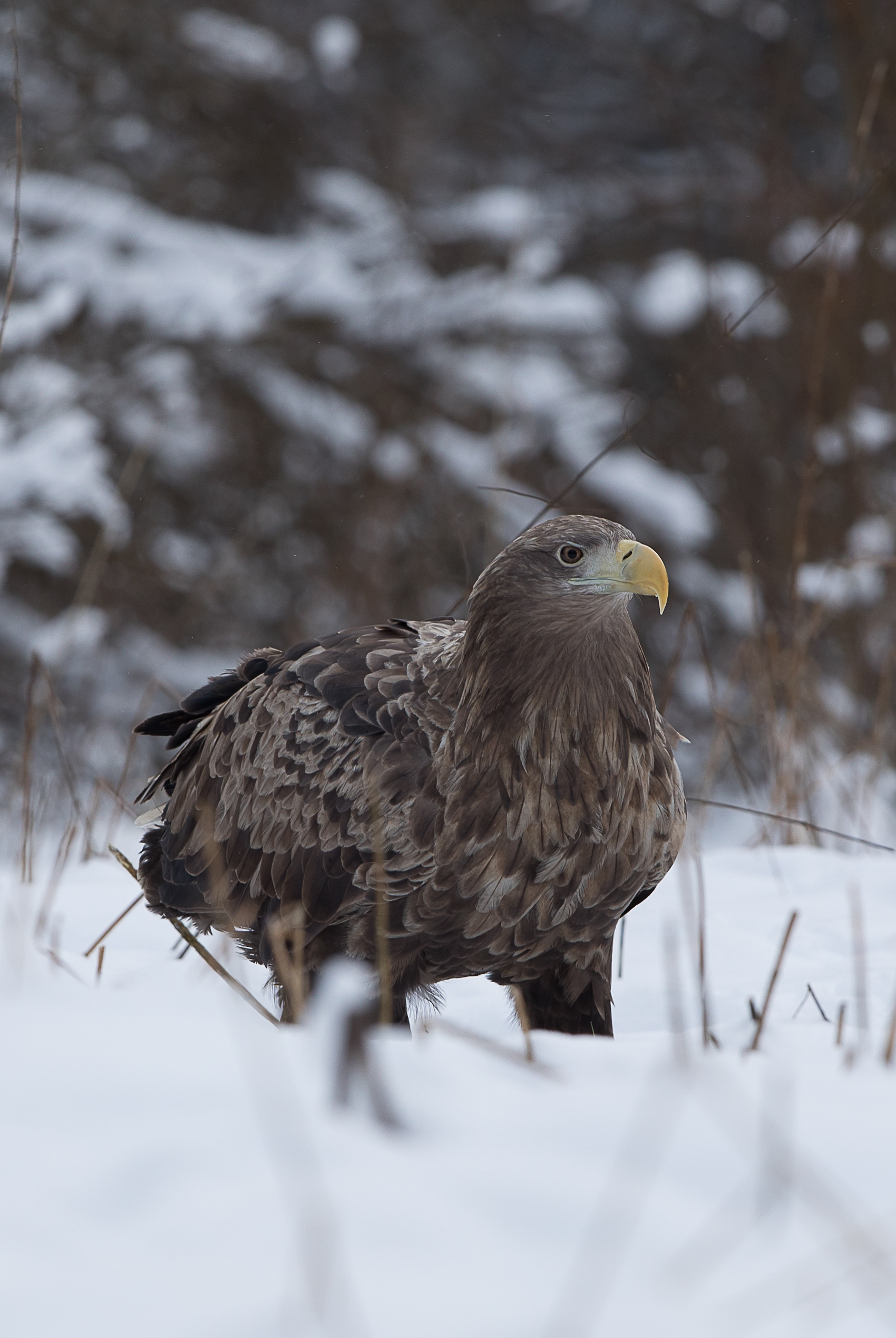 White-tailed Eagle Photography in Estonia