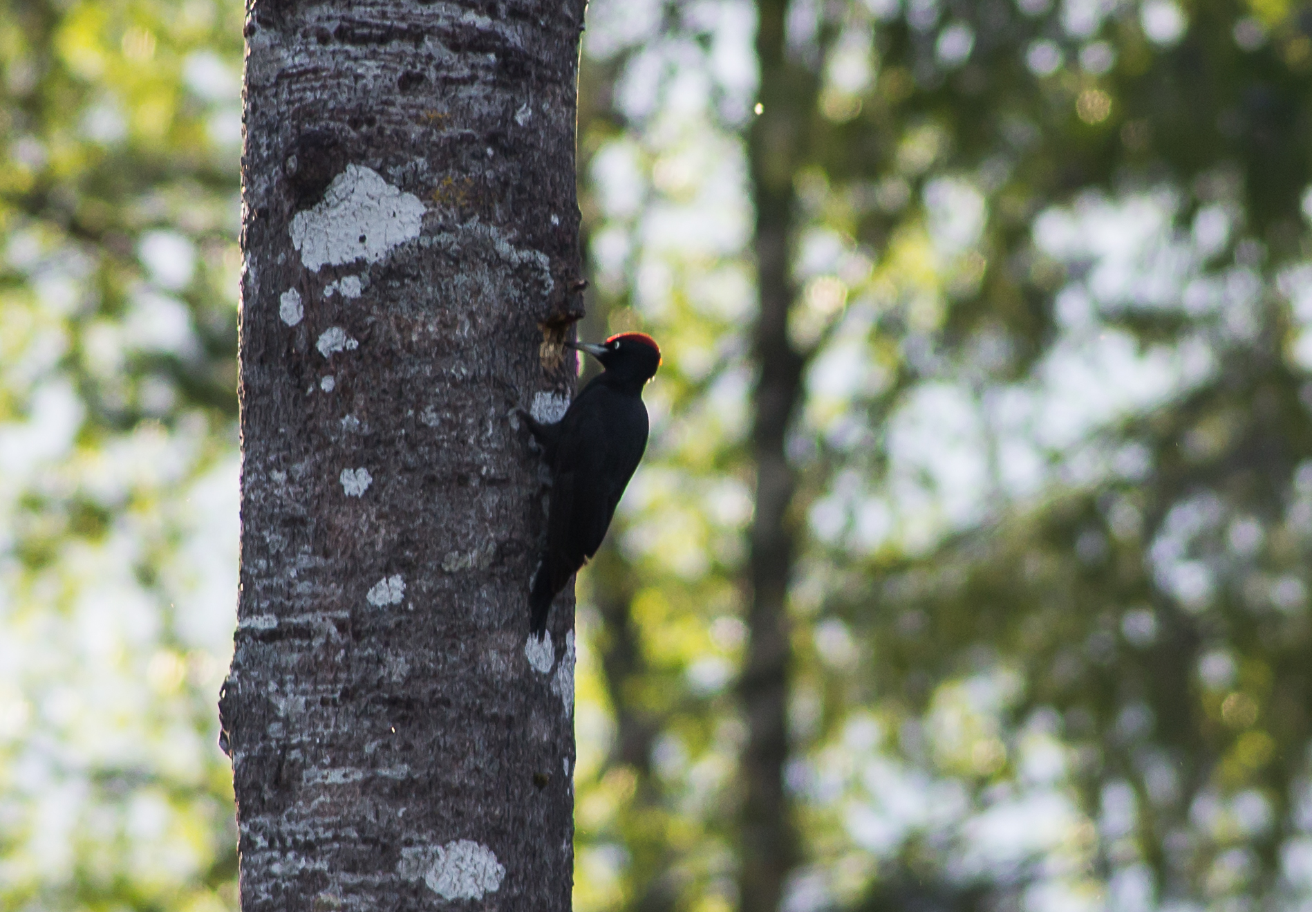 Black Woodpecker bird watching in Estonia