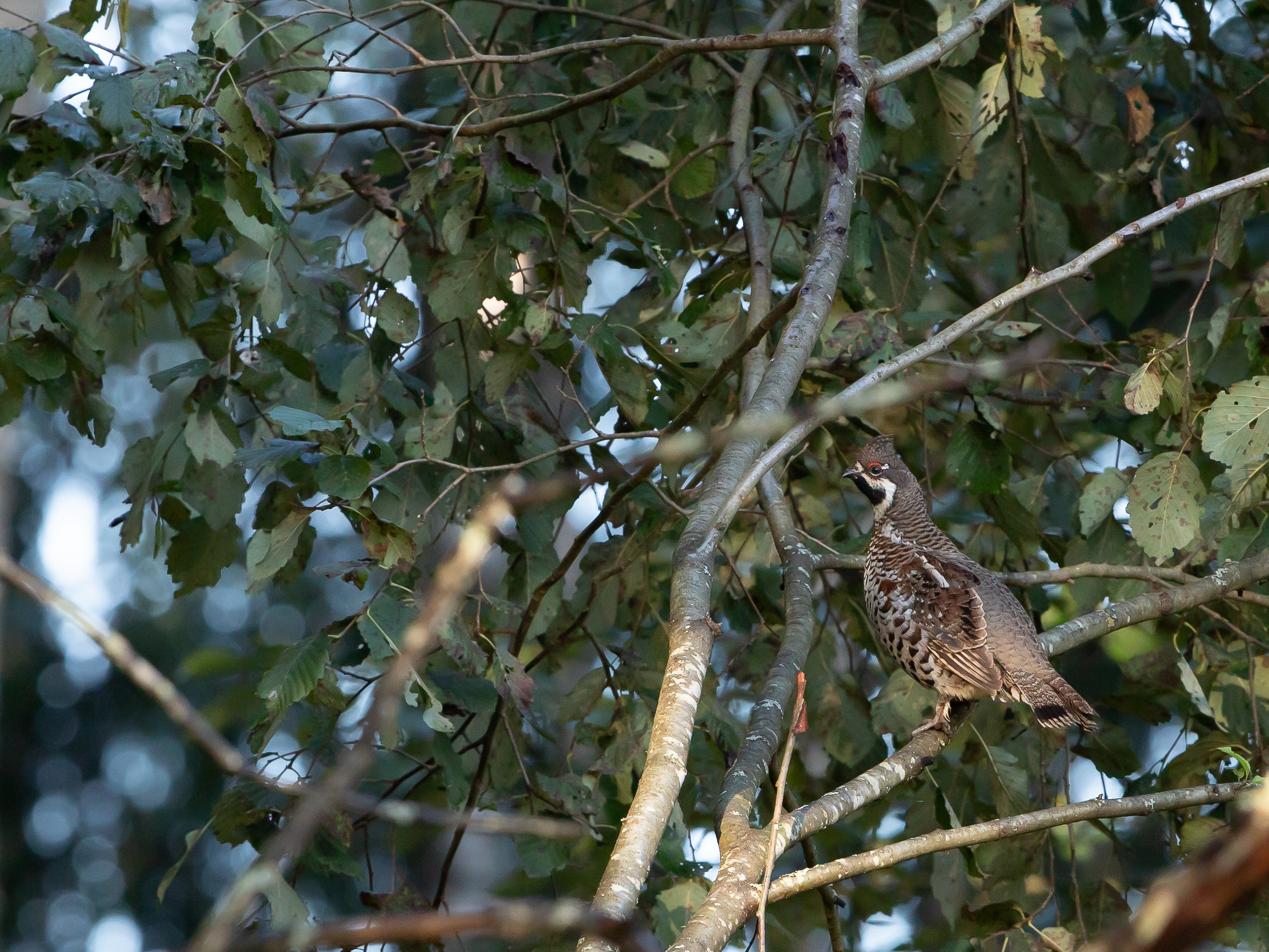Hazel Grouse bird watching in Estonia