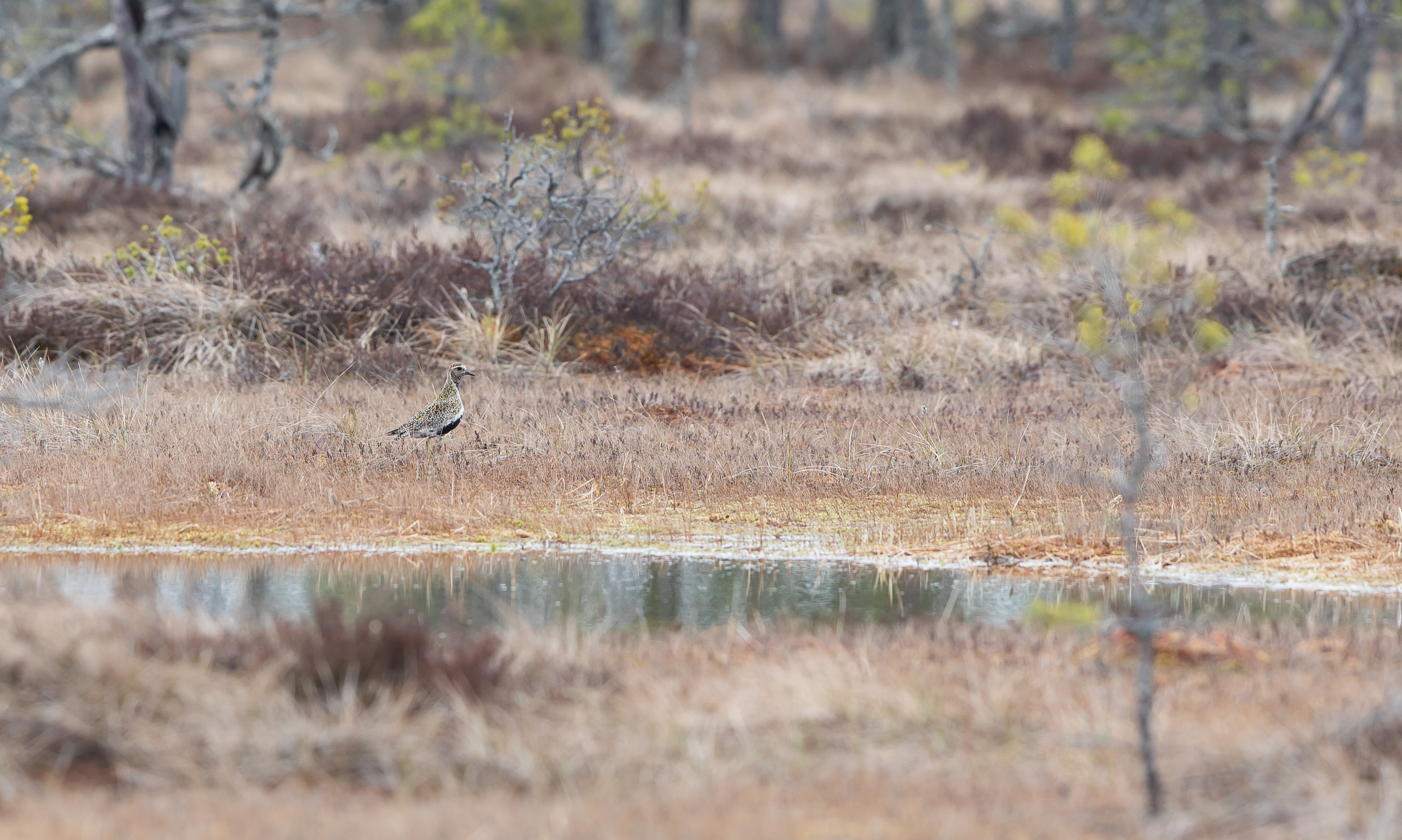 Golden Plover bird watching in Estonia