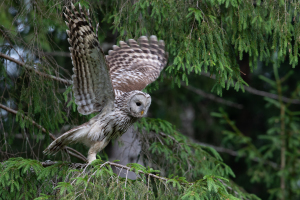 Bird Watching In Estonia-Ural Owl