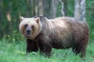 Bear watching in Estonia